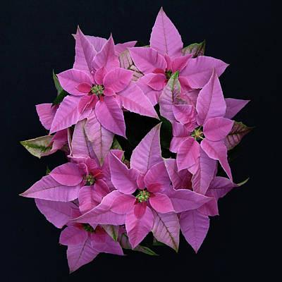 Prenceittia Pink Poinsettia Art Print by Floyd Hopper