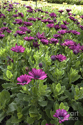 Prescott Park - Portsmouth New Hampshire Osteospermum Flowers Art Print by Erin Paul Donovan