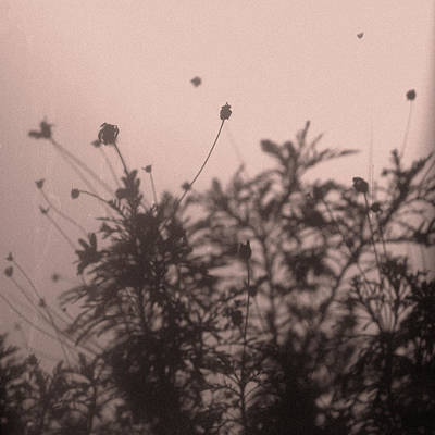 Photograph - Pressed Daisy Bush Pink by Stan Magnan