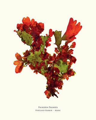 Lettuce Mixed Media - Pressed Seaweed Print, Palmaria Palmata, Portland Harbor, Maine.  #37 by John Ewen