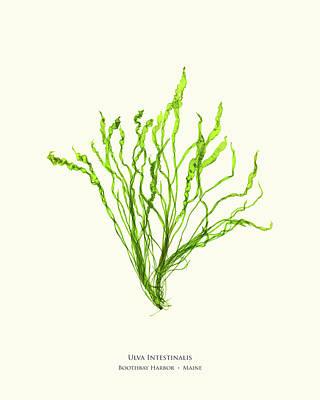 Lettuce Mixed Media - Pressed Seaweed Print, Ulva Intestinalis, Boothbay Harbor, Maine. by John Ewen