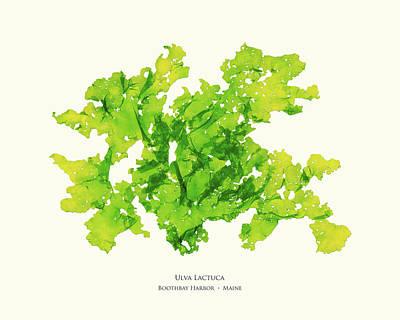 Lettuce Mixed Media - Pressed Seaweed Print, Ulva Lactuca, Boothbay Harbor, Maine. #33 by John Ewen