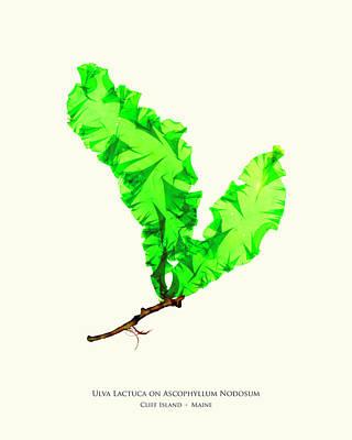 Lettuce Mixed Media - Pressed Seaweed Print, Ulva Lactuca On Ascophyllum Nodosum, Cliff Island, Maine by John Ewen