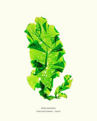 Lettuce Mixed Media - Pressed Seaweed Print, Ulva Lactuca, Portland Harbor, Maine.  #26 by John Ewen
