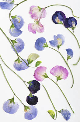 Photograph - Pressed Sweet Peas by Tim Gainey