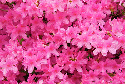 Photograph - Pretty Azaleas by Jill Lang