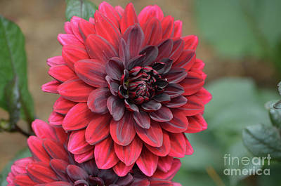 Pretty Blooming Red Dahlia Flower Blossom Art Print