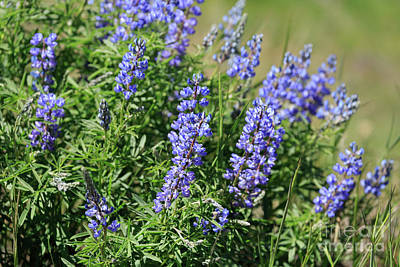 Pretty Blue Flowers Of Silky Lupine Art Print by Louise Heusinkveld