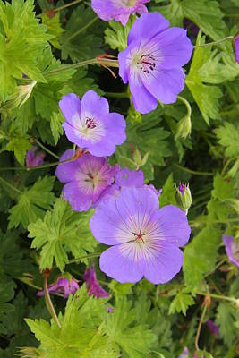 Photograph - Pretty Blue Geraniums by Nareeta Martin