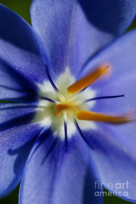Flower Photograph - Pretty Blue by Iris Greenwell