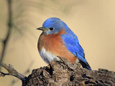 Photograph - Pretty Bluebird by Bob Zeller