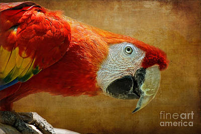 Scarlet Macaw Photograph - Pretty Boy by Lois Bryan