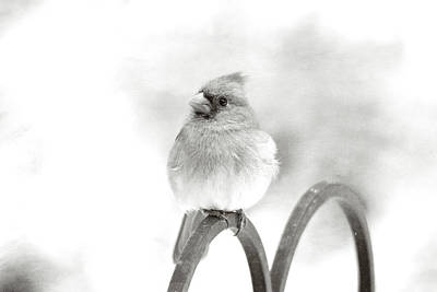Photograph - Pretty Cardinal In Black And White by Trina Ansel