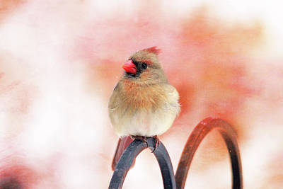 Photograph - Pretty Cardinal by Trina Ansel