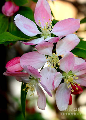 Photograph - Pretty Cherry Blossoms Macro by Carol Groenen