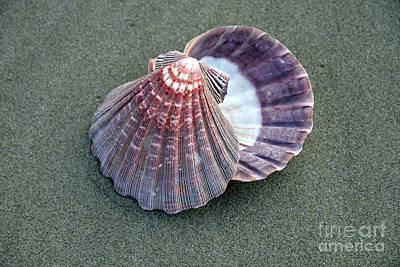 Photograph - Pretty Clams by Denise Bruchman