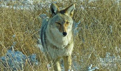 Photograph - Pretty Coyote by George Tuffy