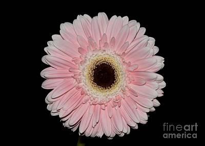 Photograph - Pretty Daisy Face by Jeannie Rhode