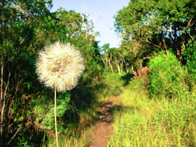 Photograph - Pretty Dandelion In The Atlantic Forest by Helissa Grundemann