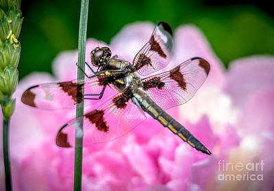 Photograph - Pretty Dragonfly by Cheryl Baxter