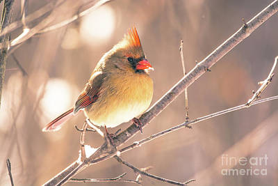 Photograph - Pretty Female Cardinal by Cheryl Baxter