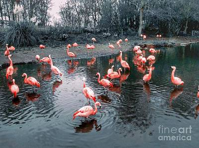Photograph - Pretty Flamingoes by Joan-Violet Stretch