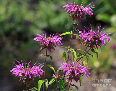 Horsemint Photograph - Pretty Flower Bee Balm Peters Purple by Louise Heusinkveld