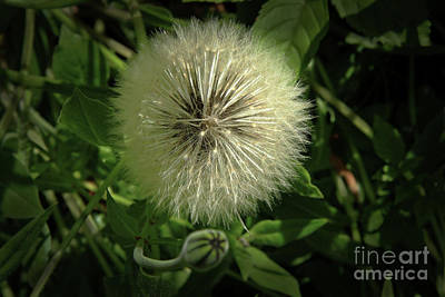 Photograph - Pretty Fluffy Seedhead by Nareeta Martin