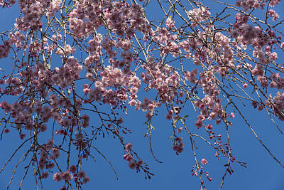Photograph - Pretty In Pink - A Flowering Cherry Tree And Blue Spring Sky by Georgia Mizuleva