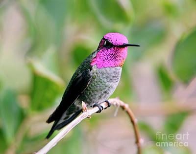 Pretty In Pink Anna's Hummingbird Art Print