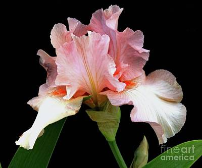 Classical Masterpiece Still Life Paintings - Pretty In Pink - Bearded Iris by Cindy Treger