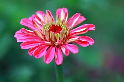 Photograph - Pretty In Pink  by Carol Montoya