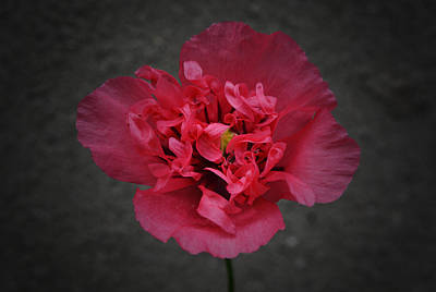 Pretty Pink Poppy Macro Photograph - Pretty In Pink by Richard Andrews