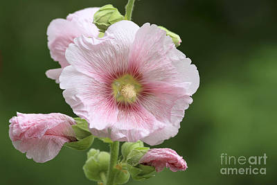 Hollyhock Photograph - Pretty In Pink by Teresa Zieba