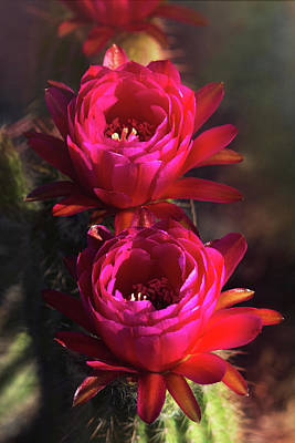 Photograph - Pretty In Pink Torch Cactus  by Saija Lehtonen