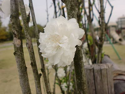 Photograph - Pretty In White by Ann Yamagishi