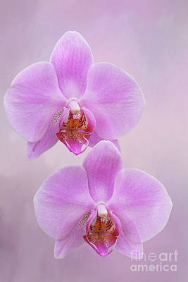 Photograph - Pretty Light Pink Phalaenopsis Orchids V2 by Judy Whitton