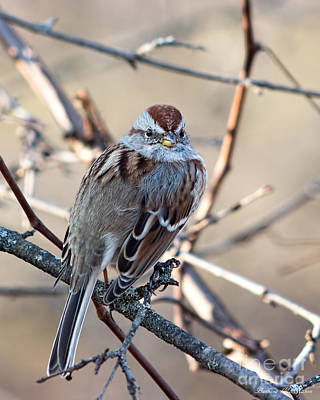 Photograph - Pretty Little American Tree Sparrow by Barbara McMahon