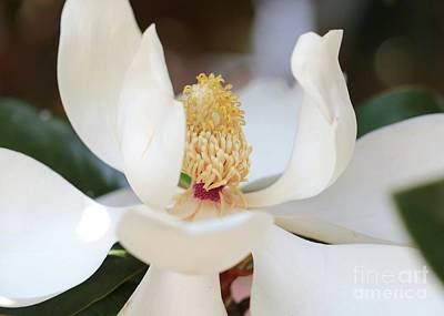 Photograph - Pretty Magnolia by Carol Groenen