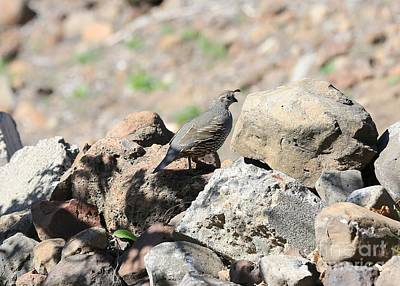 Photograph - Pretty Mama Quail On Rocks by Carol Groenen