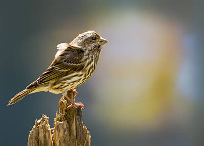 Finch Digital Art - Pretty On My Perch by Bill Tiepelman
