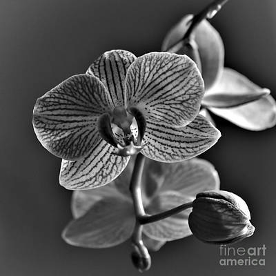 Photograph - Pretty Orchid Bw by Jeremy Hayden