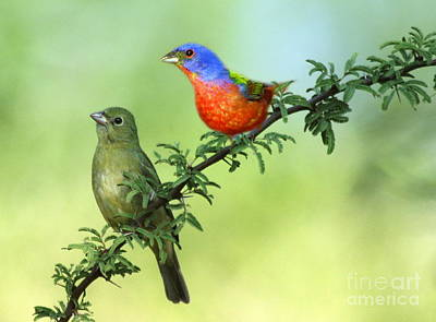 Photograph - Pretty Painted Buntings Perched by Myrna Bradshaw