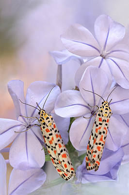 Moth Photograph - Pretty Pair by Jimmy Hoffman