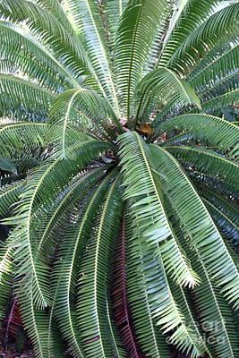 Photograph - Pretty Palm Fronds by Carol Groenen