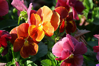 Photograph - Pretty Pansies by Andrea Jean