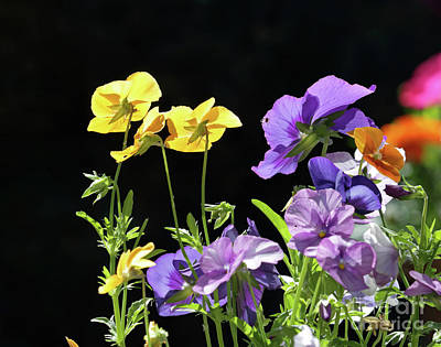 Photograph - Pretty Pansies by Julia Gavin
