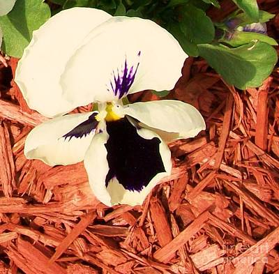 Framed Matted Photograph - Pretty Pansy by Marsha Heiken