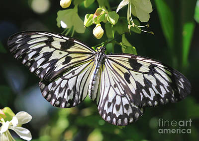 Large Tree Nymph Photograph - Pretty Paper Kite Butterfly by Carol Groenen