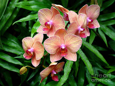 Photograph - Pretty Peach Orchids by Sue Melvin